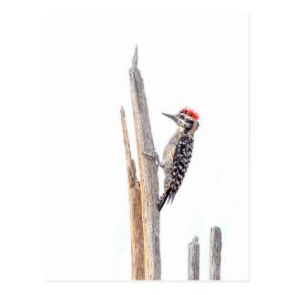 Ladder-Backed Woodpecker Postcard