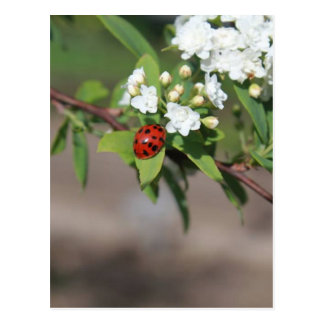 Lady Bug and White Flowers Postcard