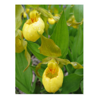 Lady Slipper Postcard
