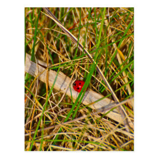 Ladybird in the grass picture postcard