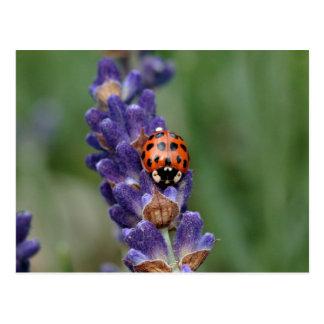 Ladybird loves lavender postcard