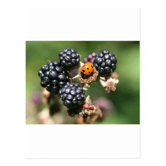 Ladybird on Blackberries Postcard
