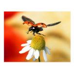 ladybird on flower 2 postcards