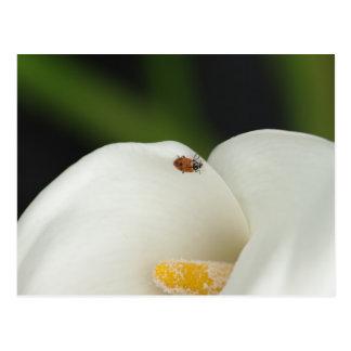 Ladybug on Calla Lily Postcard