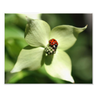 Ladybug On Dogwood Flower 10x8 Nature Photo Print