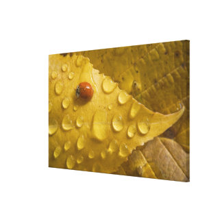 Ladybug on fall-colored leaf. Credit as: Don Gallery Wrapped Canvas
