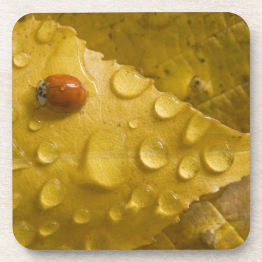 Ladybug on fall-colored leaf. Credit as: Don Beverage Coasters