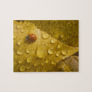 Ladybug on fall-colored leaf. Credit as: Don Jigsaw Puzzles
