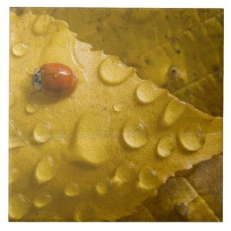 Ladybug on fall-colored leaf. Credit as: Don Large Square Tile