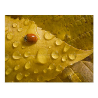 Ladybug on fall-colored leaf. Credit as: Don Postcard