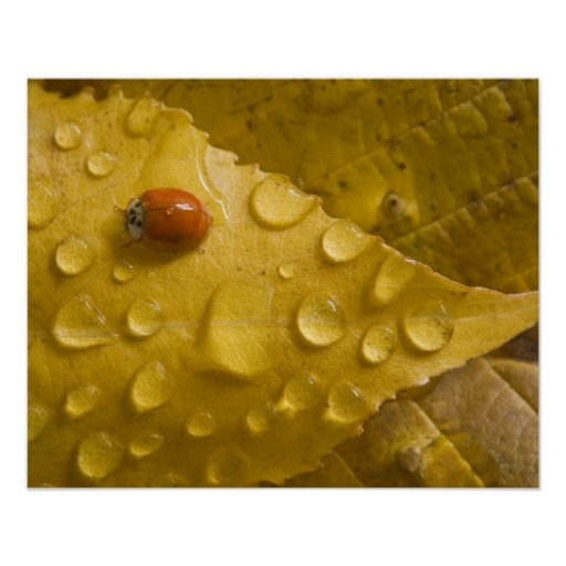 Ladybug on fall-colored leaf. Credit as: Don Posters