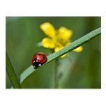 Ladybug on Grass close up Post Cards
