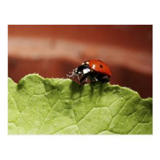 Ladybug on lettuce leaf (MR) Postcard