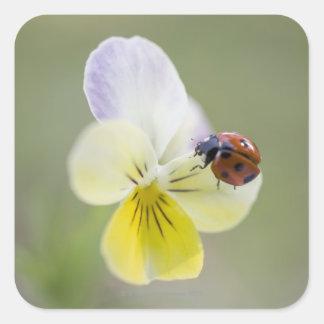 Ladybug on pansy, Biei, Hokkaido, Japan Square Sticker