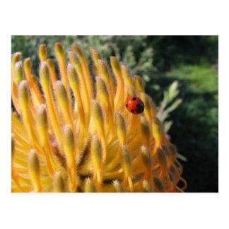 Ladybug on Pincusion Protea Postcard