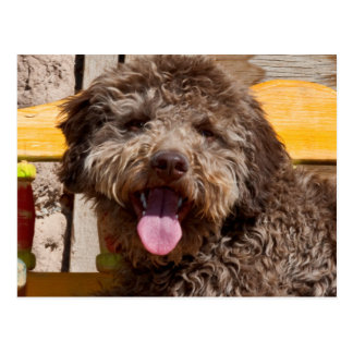 Lagotto Romagnolo Lying On A Wooden Bench Postcard
