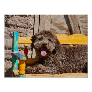 Lagotto Romagnolo Lying On A Wooden Bench Poster