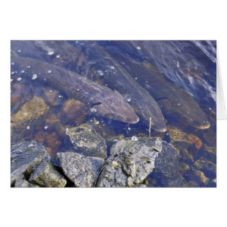Lake Sturgeon Card