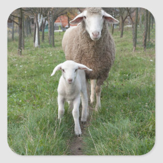 Lamb and sheep square sticker