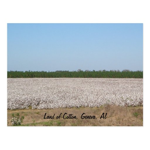 Land of Cotton Field Postcard