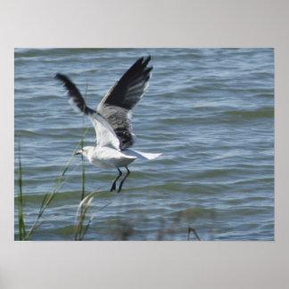 Landing gull Poster