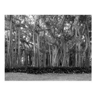 Landscape Banyan Trees B&W Photo Postcard