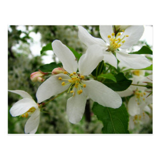 Language of Flowers White Apple Blossom Preference Postcard