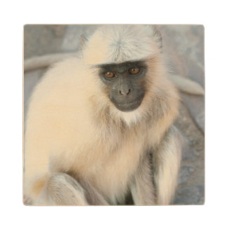 Langur Monkey, Amber Fort, Jaipur, Rajasthan Wood Coaster