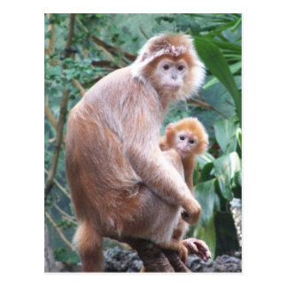 Langur Monkey Mother & Baby Postcard