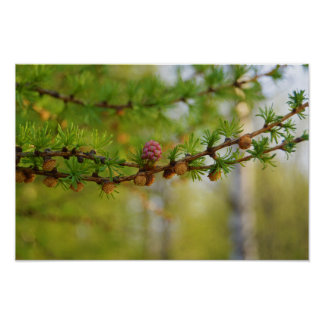 Larch flower in Finland Poster
