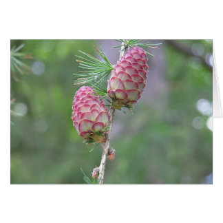 Larch (Larix) card