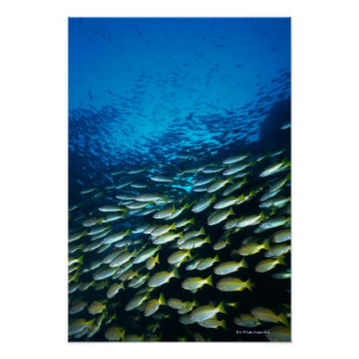 Large group of Bigeye Snapper fish swimming Poster