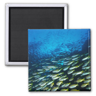 Large group of Bigeye Snapper fish swimming Square Magnet