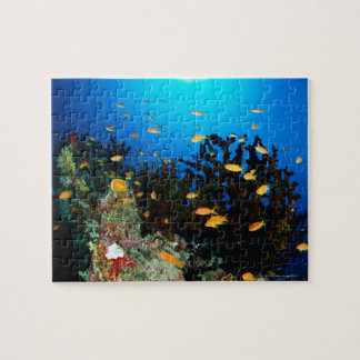 Large group of Sea Goldie fish swimming Jigsaw Puzzle