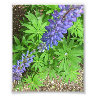 Large Lupin Photo Art