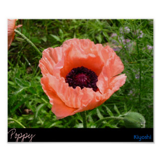 Large Pink Poppy 2 Print
