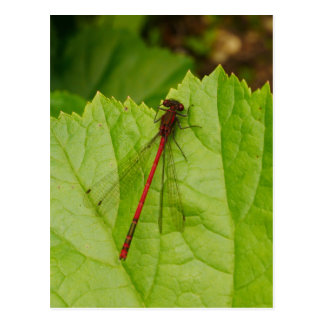 Large Red Damselfly Postcard