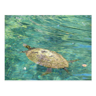 large river turtle swimming postcard