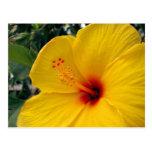 Large Yellow Hibiscus Postcard
