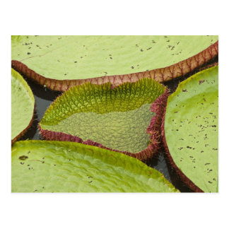 Largest lily, the Giant Amazon Water Lily Postcard