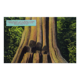 Largest Recorded Tree in BC 1896 Cedar Tree Posters