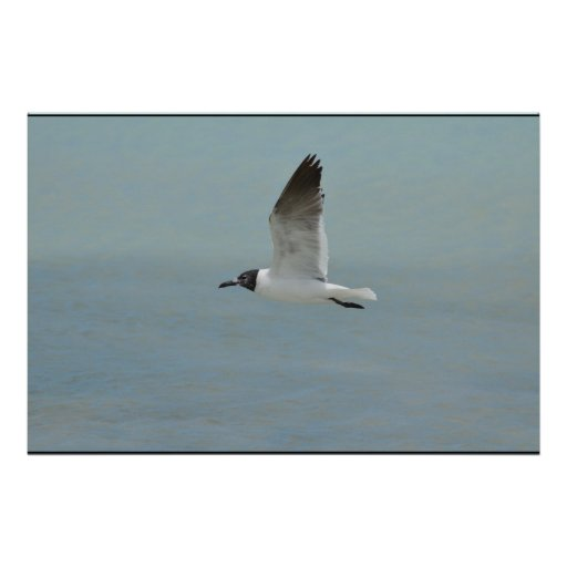 Laughing Gull Posters