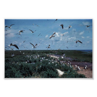 Laughing Gull Rookery Poster