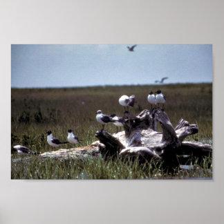 Laughing Gulls Print