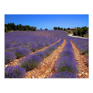 Lavendar field in Provence Postcard