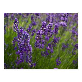 Lavendar Lavendel Post Card