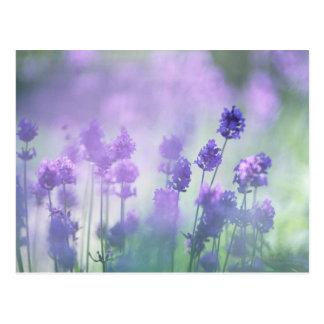 Lavender 2 postcard