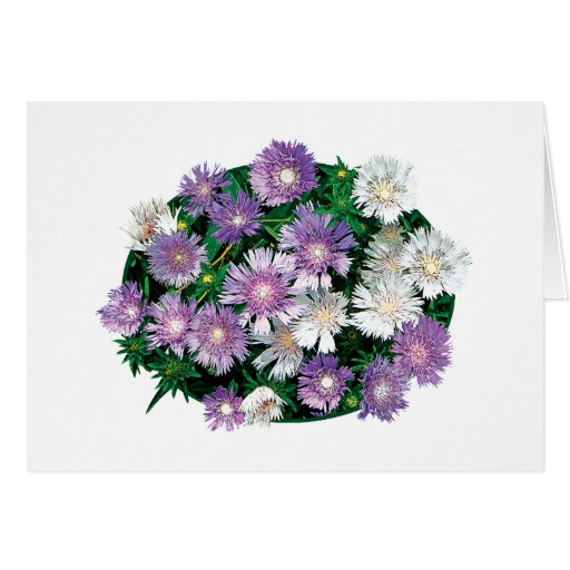 Lavender and White Stokes Asters Greeting Card
