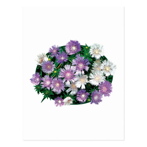 Lavender and White Stokes Asters Postcards