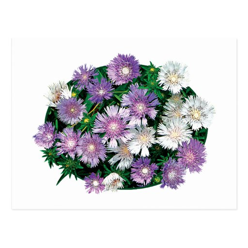 Lavender and White Stokes Asters Post Card